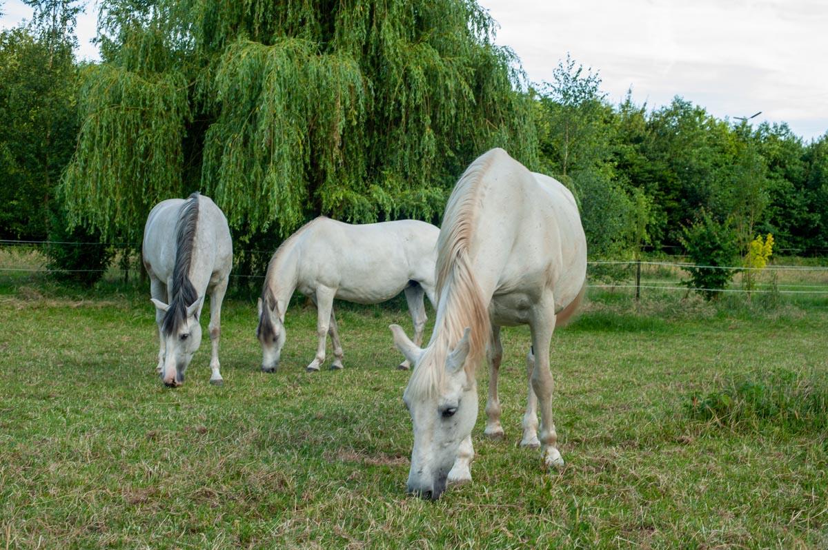 pferde-verkauf-pension-itzig-luxemburg