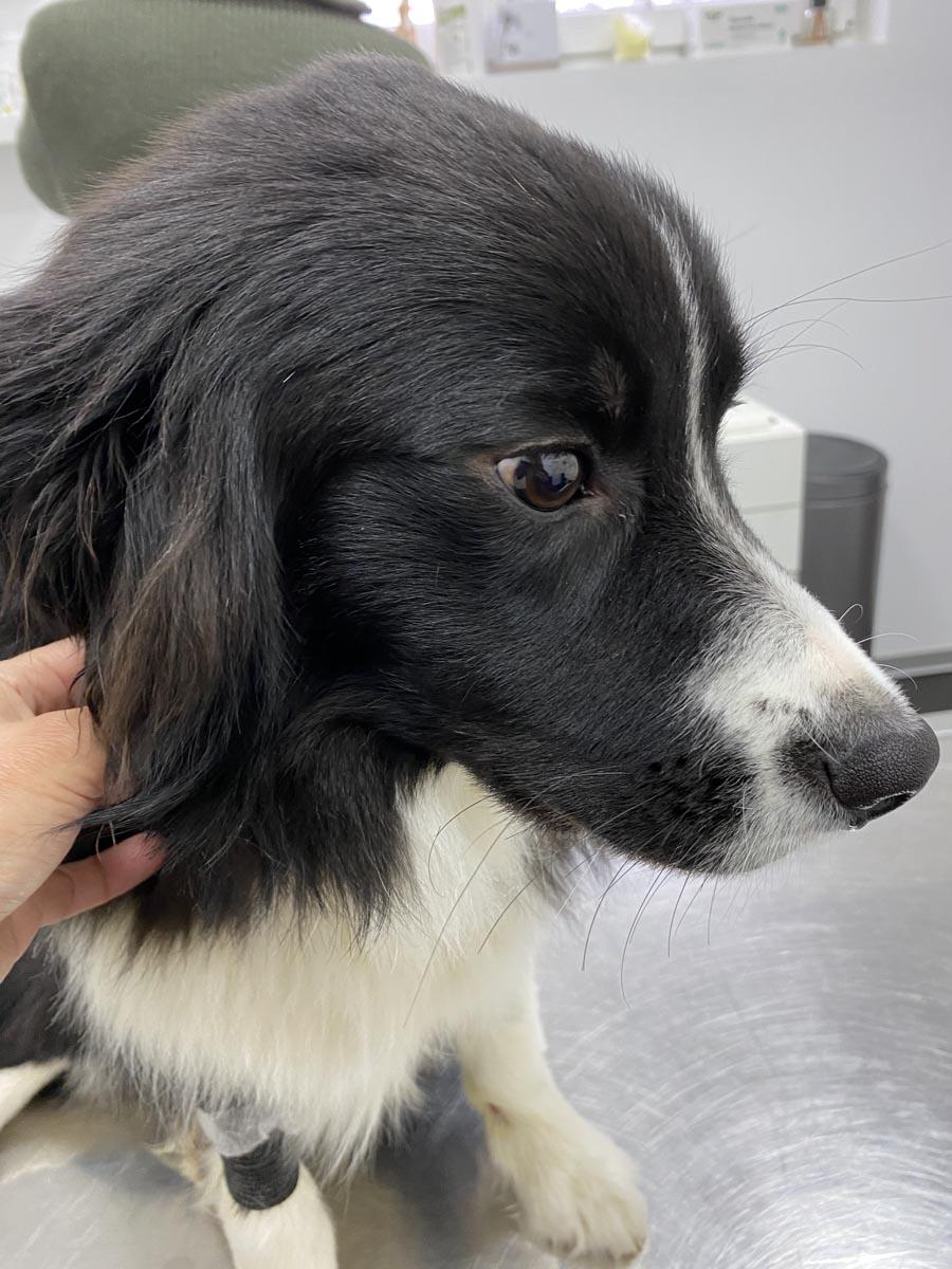 chien-veterinaire-itzig-lassie
